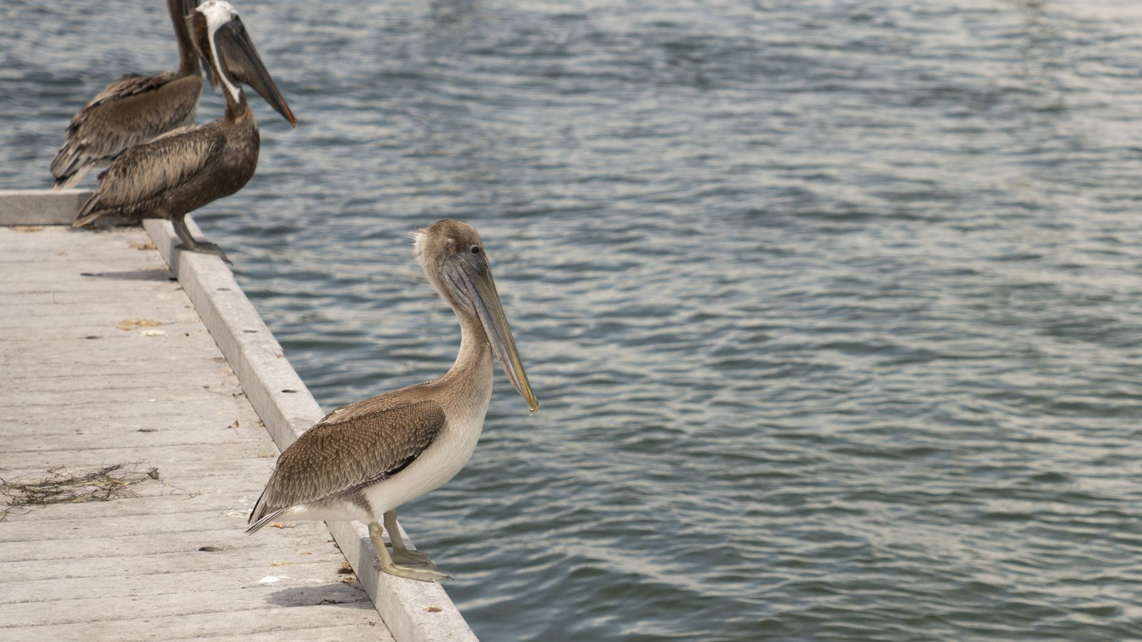 A Love Letter To Pelicans St Pete S Unofficial Bird