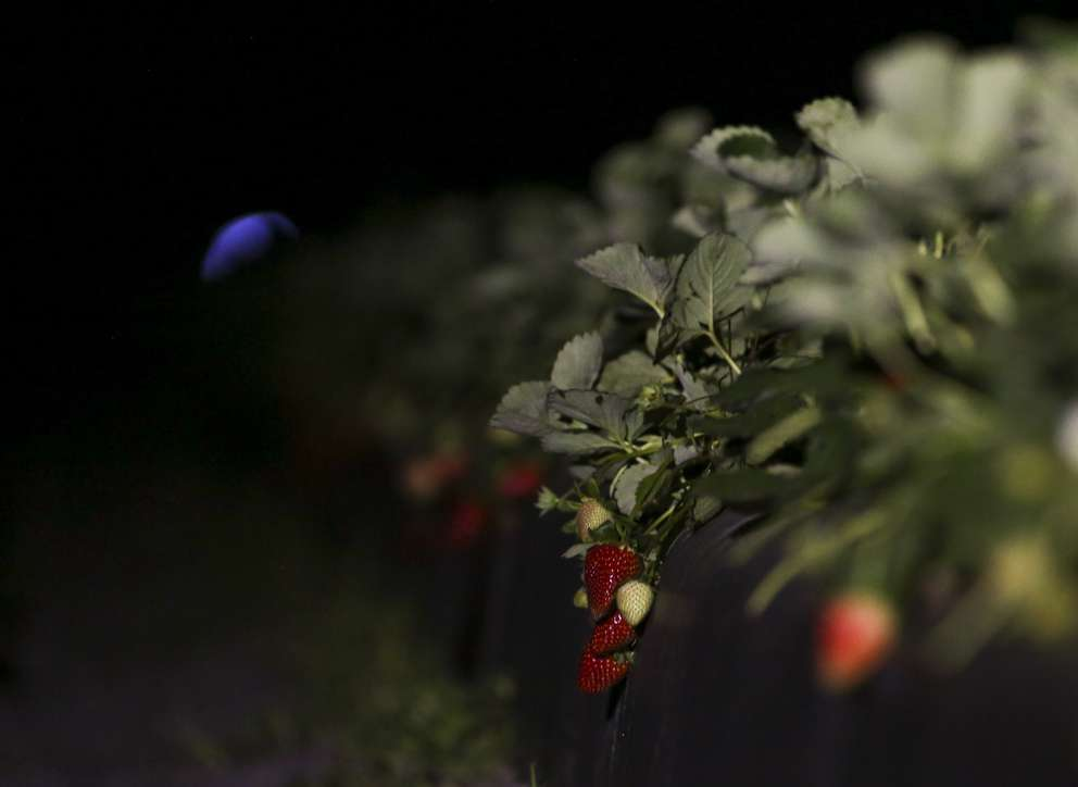 Strawberries sit after an autonomous machine named Thorvald bathed them in ultraviolet light on March 12, 2019 at a farm in Wimauma. Times (2019)