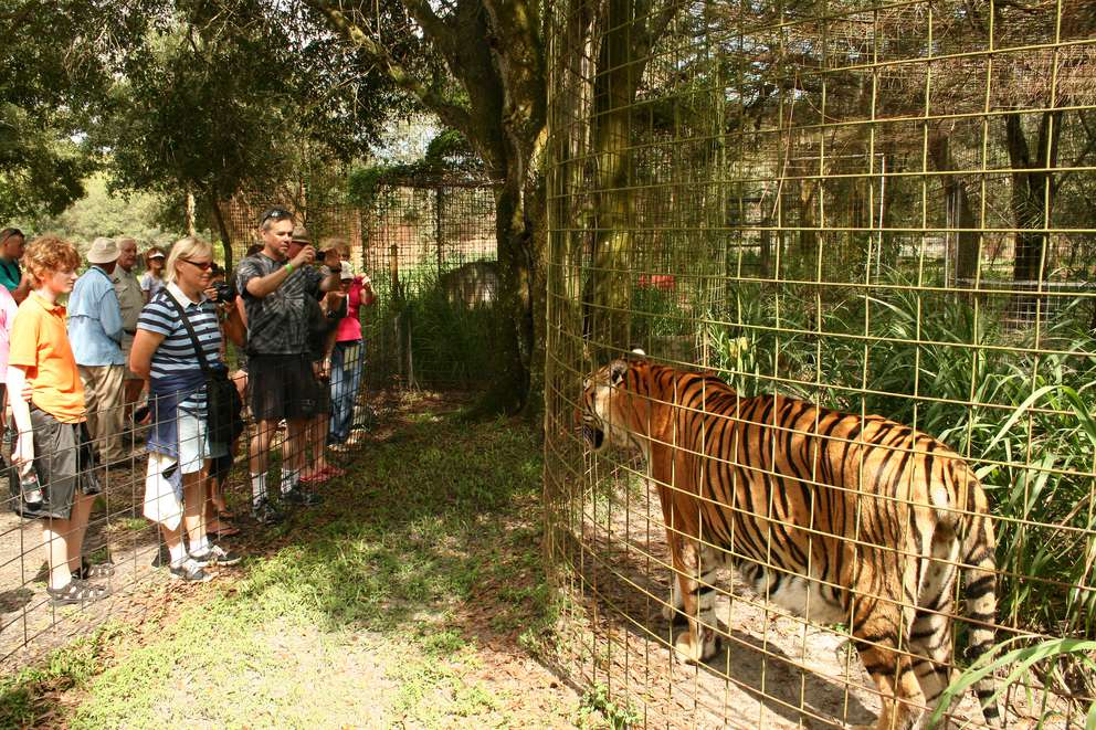 Big Cat Rescue offers tours of its animal sanctuary that include feedings, enrichment with toys and more. [Photo from Big Cat Rescue]