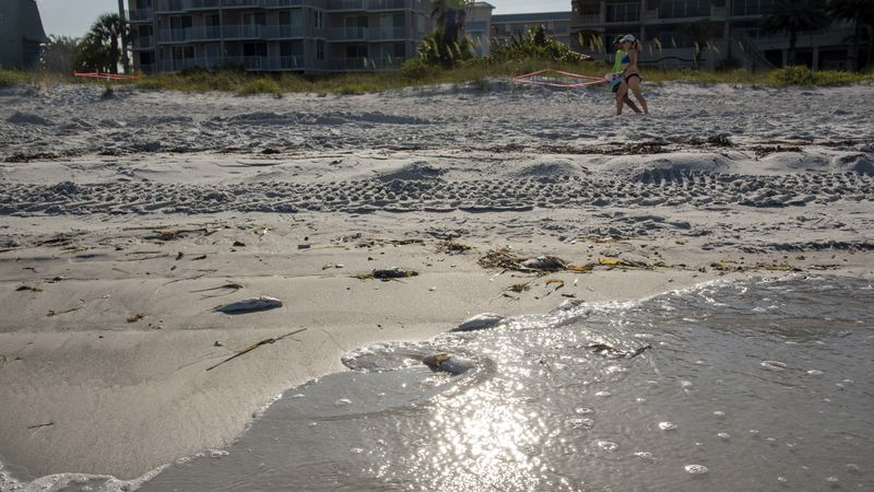Could Tampa Bay's Red Tide be connected to Piney Point disaster? - Tampa Bay Times