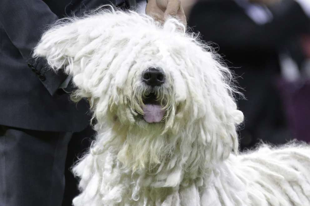 A Komondor competes with the working group at the 143rd Westminster Kennel Club Dog Show Tuesday, Feb. 12, 2019, in New York. (AP Photo/Frank Franklin II)