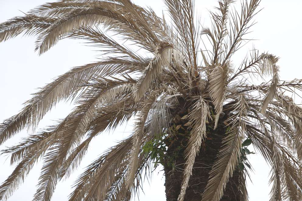 A Canary Island date palm tree located on Bayshore Boulevard in south Tampa is dying from a disease known as lethal bronzing. OCTAVIO JONES | Times