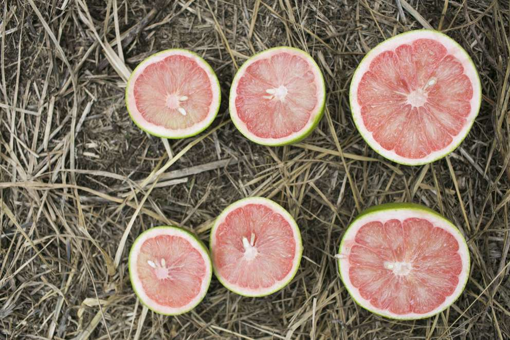 The effects of citrus greening can be seen on pieces of red Florida grapefruit from Premier Citrus groves in Vero Beach on Oct. 15, 2015. Grapefruit is especially impervious to remedies. The disease-affected fruit on the left and middle is smaller and misshapen compared to the healthy fruit on the right. (EVE EDELHEIT | Times)