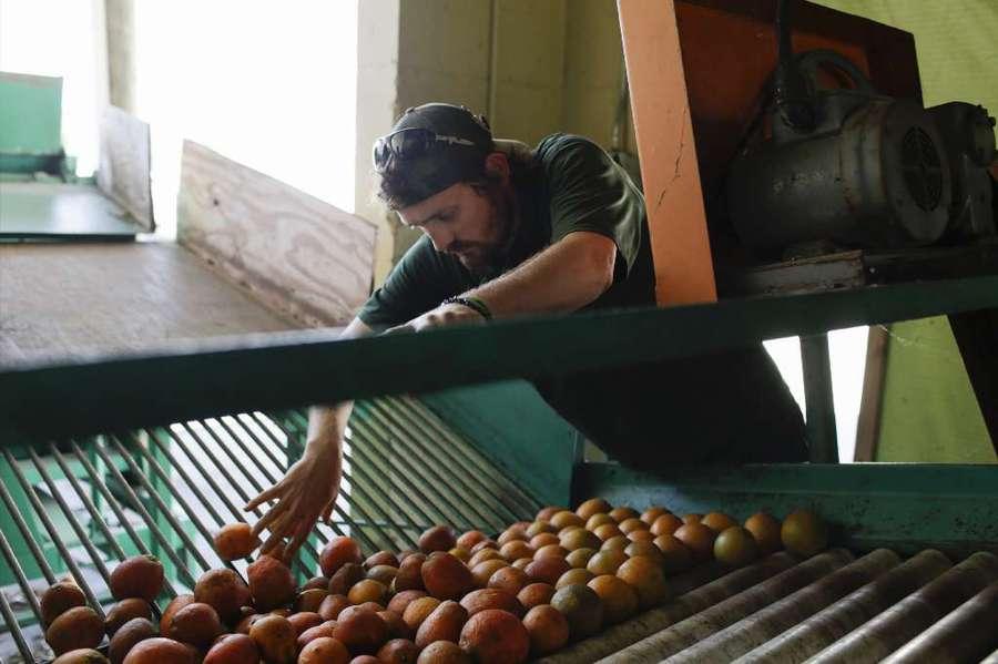 Adam Burchenal sorts through his morning's pick of valencias, weeding out those damaged by greening. [GABRIELLA ANGOTTI-JONES | Times]