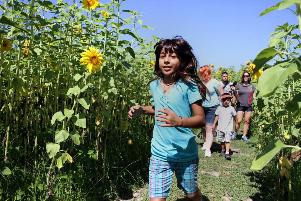 Avelyn Mirza, 8, races through the sunflower maze at Sweetfields Farm in Masaryktown. Times.