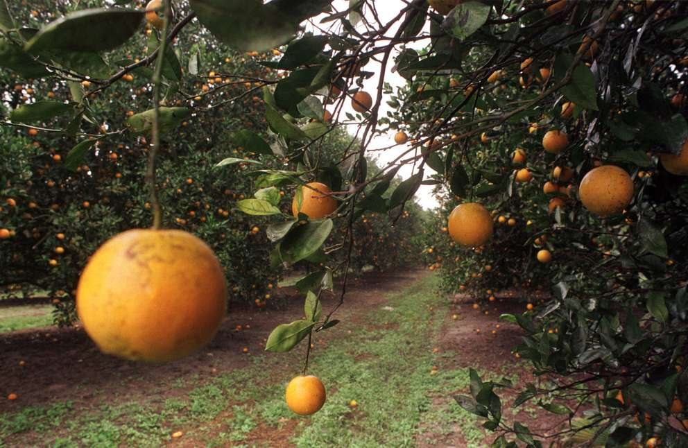 Florida oranges grow near Plant City. Times (1998).