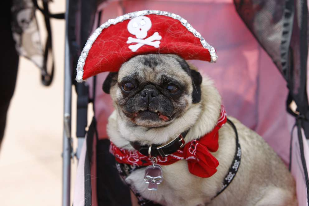 Miso the Pug attends the 2016 Gasparilla Pirate Invasion and Parade in Tampa. [Luis Santana | Times]