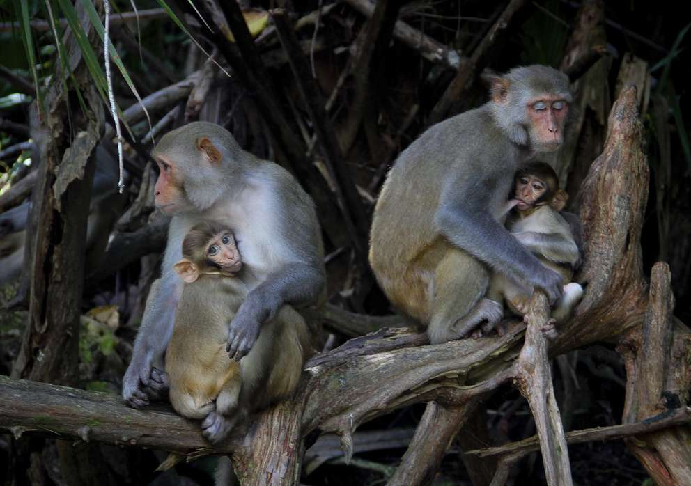 In this Sept. 17, 2013, file photo female Rhesus Macaques nurse their young along the Silver River in Silver Springs State Park in Florida. [Lisa Crigar | Star-Banner via AP]