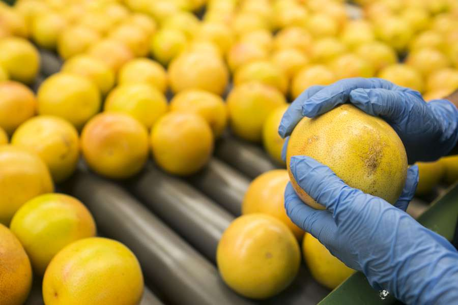 An employee takes out a grapefruit from the packing process at the Premier Citrus Packers facility in Vero Beach, Florida on Oct. 15, 2015. Grapefruit from this facility is shipped out to Japan, where the fruit was once extremely popular with the Japanese. (EVE EDELHEIT | Times)