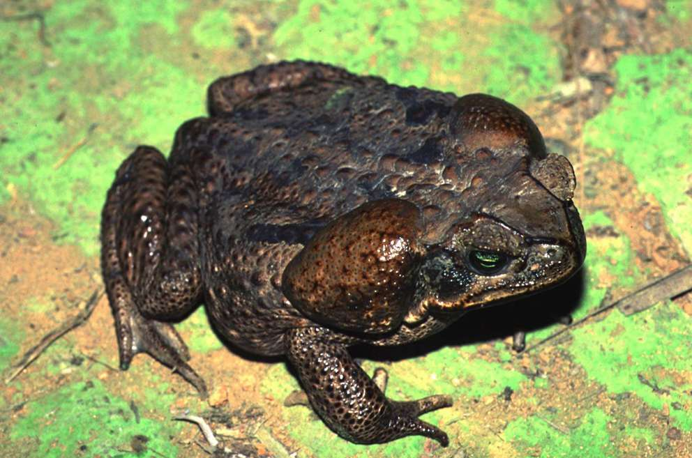 The bufo toad can be deadly to pets. [Associated Press]