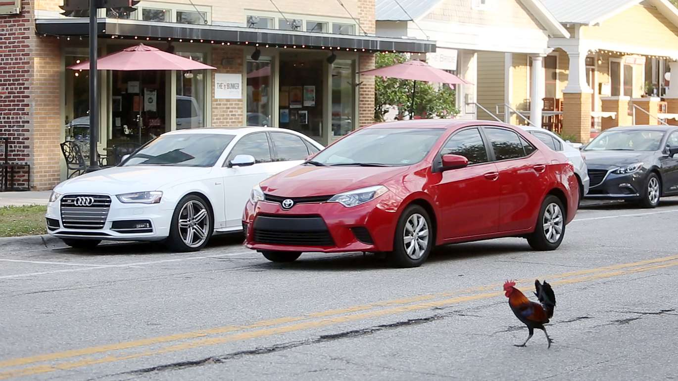 Chickens often cross the roads in Ybor City in which drivers use caution to give them the right away on Sunday, April 30, 2017. Dylan Breese, 36, who lives in Ybor City found solace caring for chickens after losing his job last year. Over the past several months he's become a fixture in Ybor City by hosting volunteer cleanups in Centennial Park and advocating for chickens through the Ybor Chickens Society. [OCTAVIO JONES   Times]