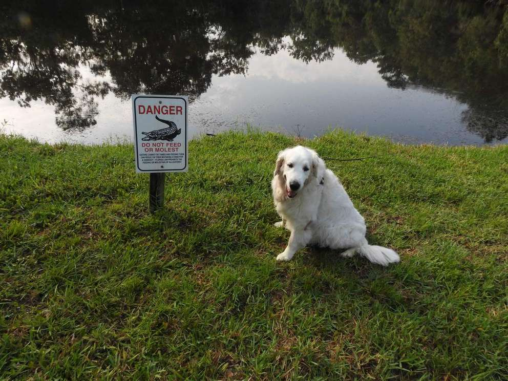 Osi was attacked by an 8-foot gator near a retention pond Tuesday morning. After the incident, Buddy Ackermann, who was watching Osi for his daughter, took this photo of the dog next to an alligator warning sign. (Courtesy of Buddy Ackerman)