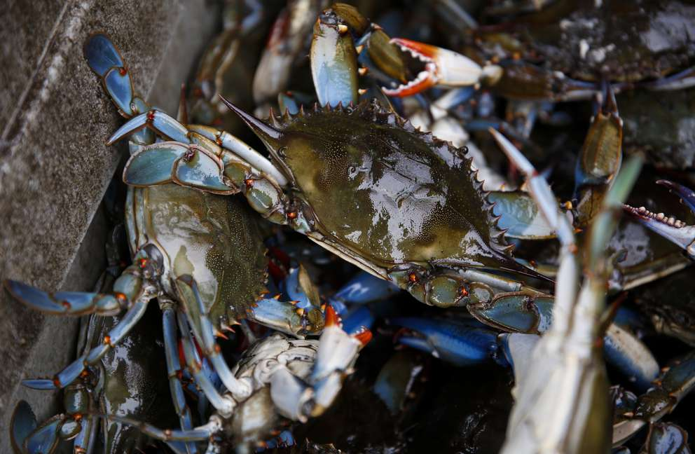 Blue crabs caught by commercial crabber Gus Muench on the Little Manatee River in Ruskin, Fla. Muench has been a commercial crabber since 1976. MONICA HERNDON   Times (2018)