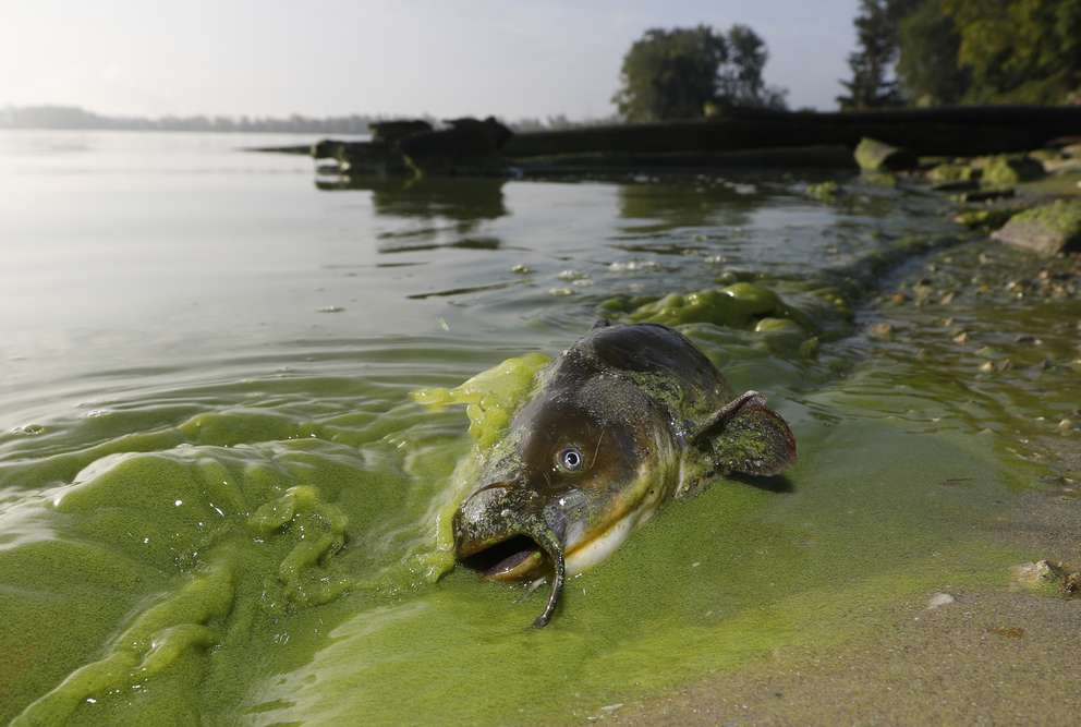 A catfish appears on the shoreline in the algae-filled waters of North Toledo, Ohio. Long linked to animal deaths, high doses of the toxins in humans can cause liver damage and attack the nervous system. Blue-green algae blooms are becoming increasingly common around the United States, not just Florida. [Andy Morrison | the Blade via the Associated Press (2017)]