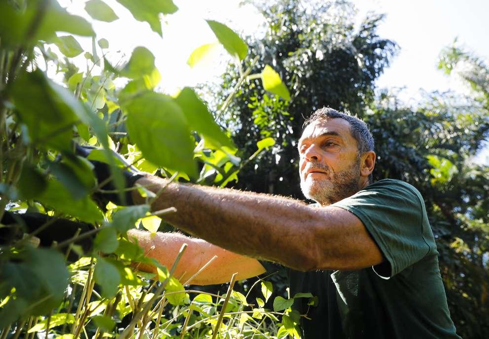 Bob Funari prunes the Asian Cap shrubs in the Wedding Lawn at Sunken Gardens on Friday.