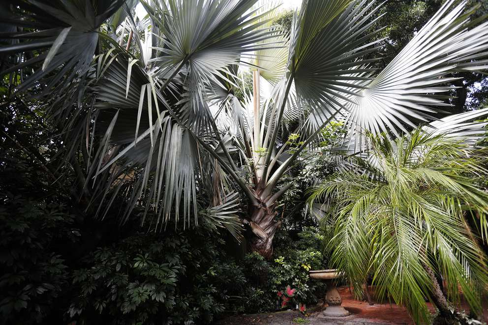 A Bismarck palm tree that is native to Madagascar is located at the residence of Norman De Lapouyade in south Tampa. OCTAVIO JONES | Times