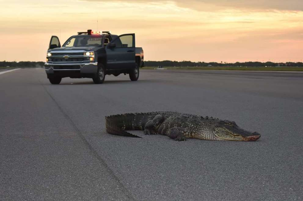 The alligator was found early Tuesday morning. [Photo courtesy of MacDill Air Force Base's Twitter]