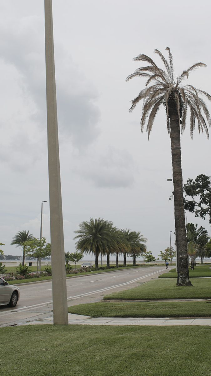 Thousands of palm trees are dying from a new disease. Tampa is 'ground  zero.'
