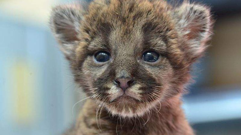 Rescued Florida Panther Kitten Arrives At Lowry Park Zoo