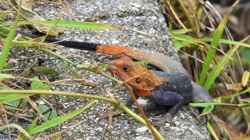 Red-headed invasive lizard with butterfly appetite spreads in Florida