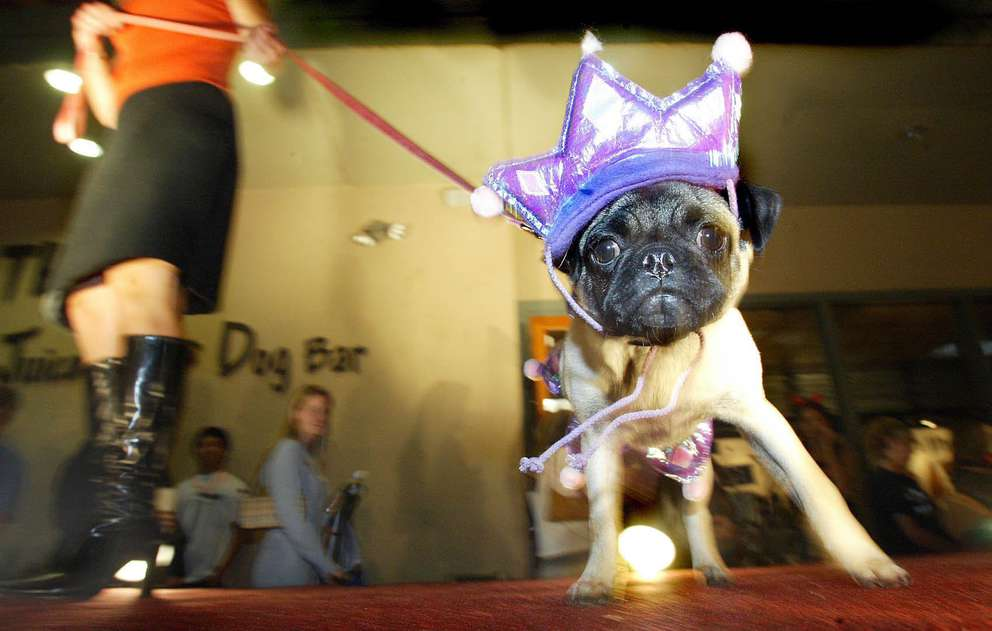 Lucy, a pug from Tempe, Ariz., struts her stuff along the catwalk in her princess outfit during the dog costume fashion show at the Canine Halloween Party held at In the Raw Coffee Bar, Juice Bar & Dog Bar in Scottsdale, Ariz. More than 60 dogs took part in the event, which included prizes for best costume and canine trick or treating. [Ralph Freso | AP]
