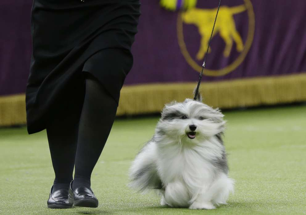 Bono, a Havanese, competes in Best in Show at the 143rd Westminster Kennel Club Dog Show on Tuesday, Feb. 12, 2019, in New York. King, a wire fox terrier, won Best in Show. Bono came in second. [Associated Press]