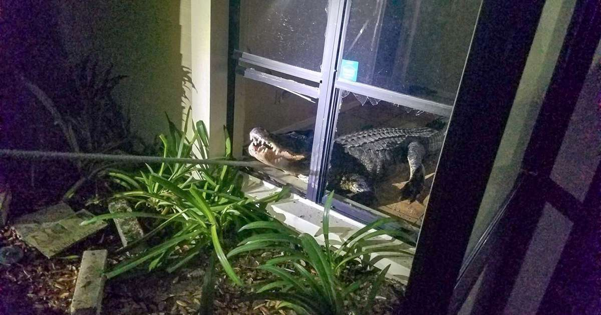 Aggressive 11 Foot Alligator Busts Through Window Of Clearwater