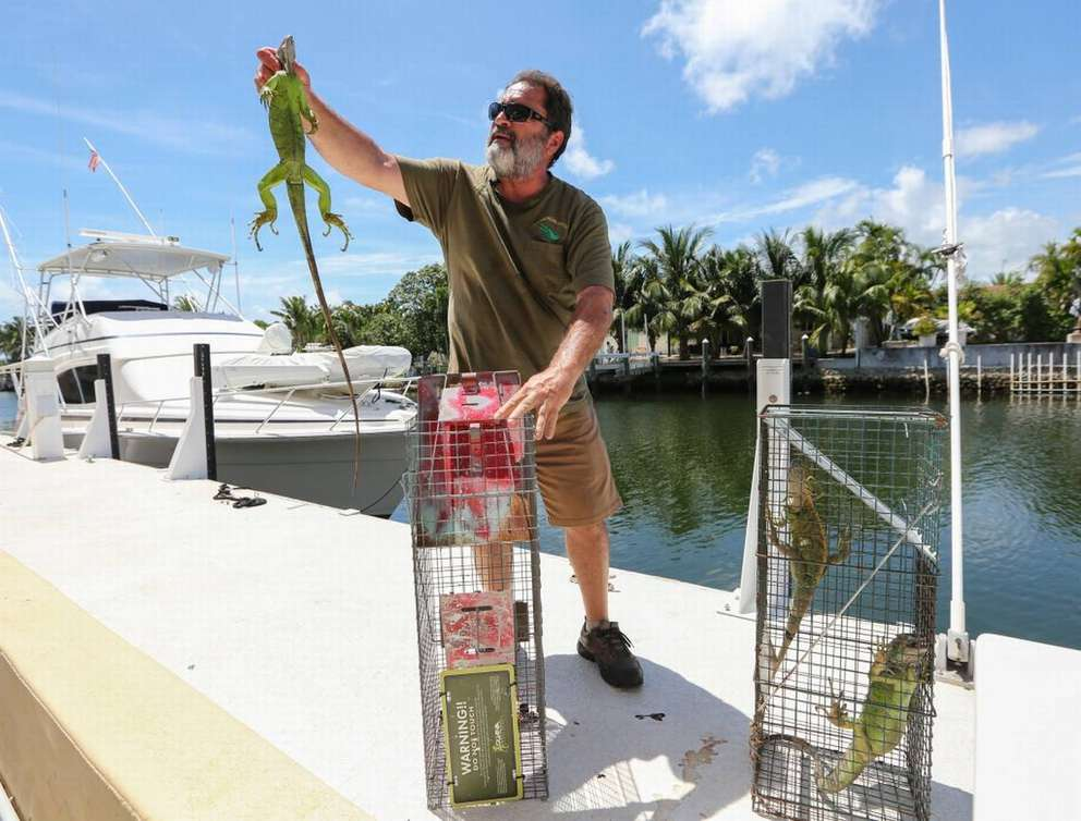 Trapper Brian Wood shows an iguana caught outside of Keystone Towers condo complex in North Miami on Tuesday, June 26, 2018.