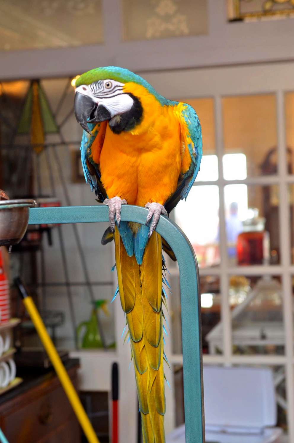 JoJo, a blue and gold macaw, became a well known character at the Driftwood Inn before the hotel was destroyed by Hurricane Michael last year. The parrot was found dead in the Driftwood following the storm. (Courtesy of Shawna Wood)