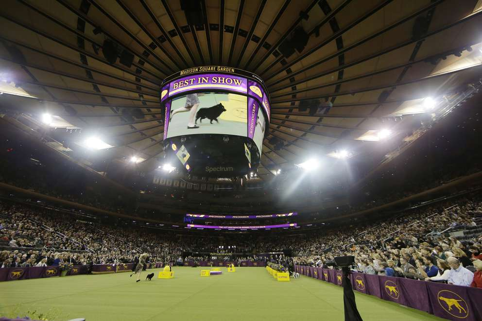 Colton,a schipperke, arrives for Best in Show at the 143rd Westminster Kennel Club Dog Show Tuesday, Feb. 12, 2019, in New York. King, a wire fox terrier, won Best in Show. A day after earning a coveted spot in the final ring of seven, Colton was ruled ineligible for best in show. There was a conflict of interest — judge Peter Green's longtime partner has co-owned dogs with one of Colton's co-owners. Colton was allowed to run around the ring, then was excused. [Associated Press]