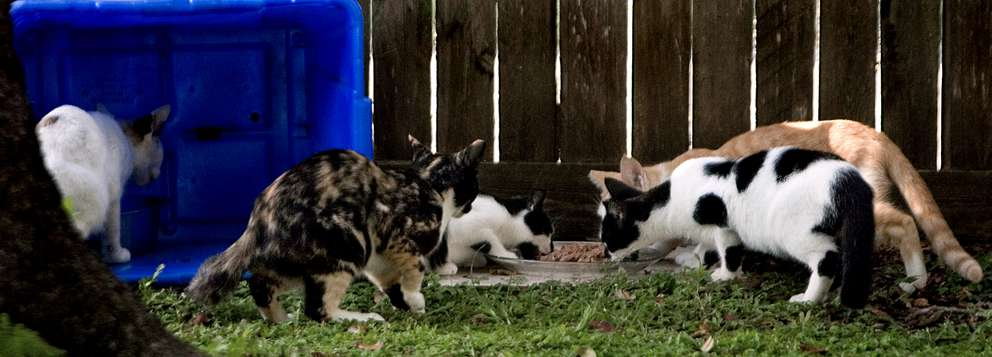 Five feral cats of a colony of about 15 living near Mike LaMonica's home on 3rd Avenue S in St. Petersburg eat the food LaMonica put out for them. Times (2013)