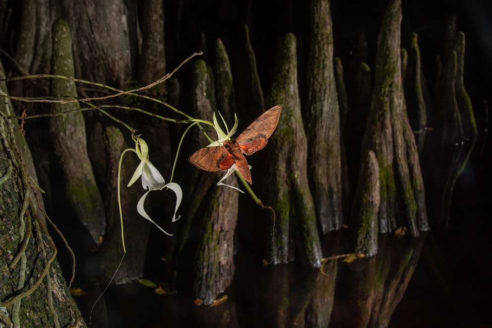 The first-ever photo of a streaked sphinx month (Protambulyx strigilis) probing and potentially pollinating a ghost orchid flower. Photo by Carlton Ward, Jr.