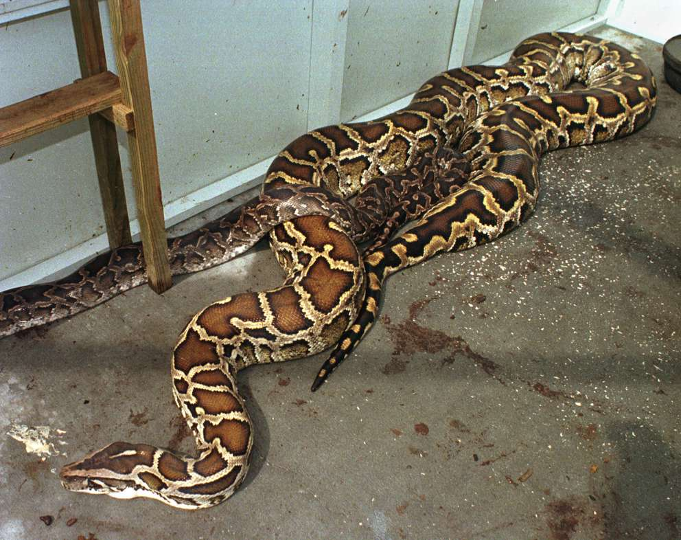 This Burmese python at Wildlife Rescue and Rehabilitation in Largo was captured recently in St. Petersburg. On top of the snake is a smaller python. [Tampa Tribune photo]