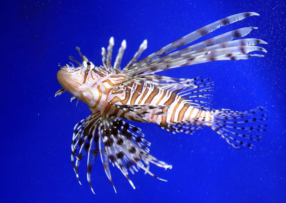 A lionfish on display at the Florida Aquarium. [Jim Reed | Tampa Bay Times]