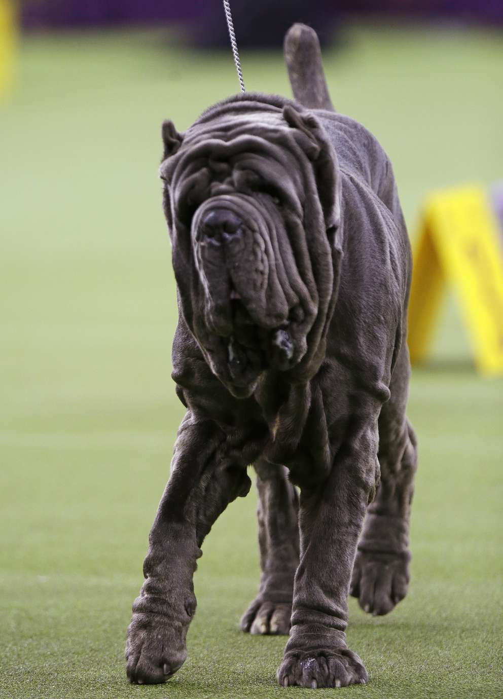 A Neapolitan mastiff competes with the working group at the 143rd Westminster Kennel Club Dog Show Tuesday, Feb. 12, 2019, in New York. [Associated Press]