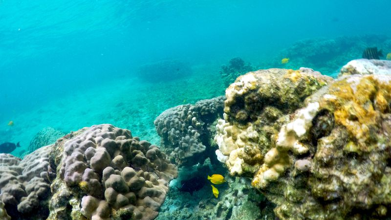Ocean heat wave threatens severe damage to Hawaii coral - Tampa Bay Times