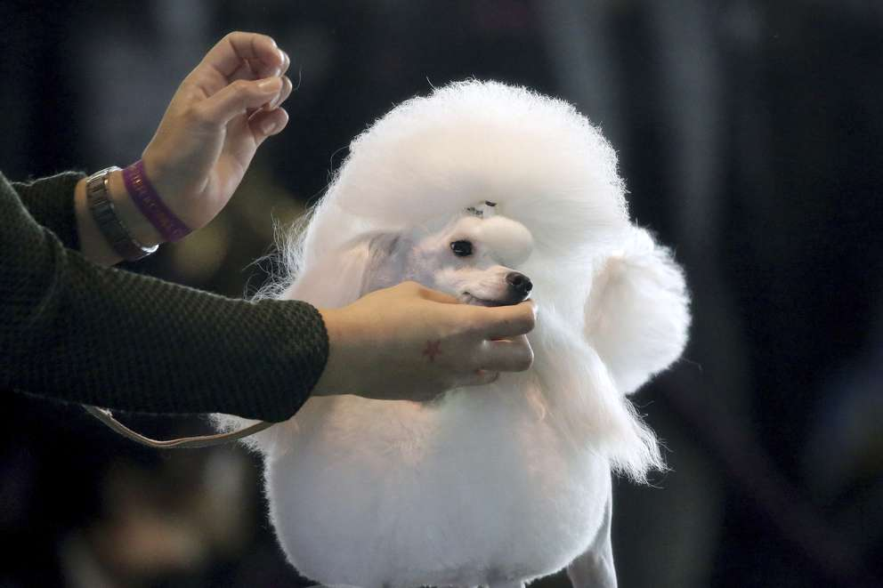A toy poodle is groomed ahead of the Best of Breed event at the Westminster Kennel Club dog show on Monday, Feb. 11, 2019, in New York. [Associated Press]